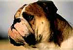 El Bulldog actual